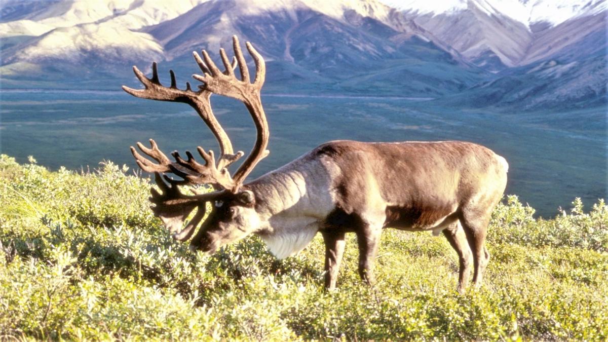 Male caribou in Alaska Kaynak: Wikimedia Commons'tan Özgür medya deposu